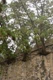 Árboles que crecen a través de la pared foto de archivo libre de regalías