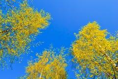 Árboles que extienden el cielo - paisaje del bosque del otoño Fotos de archivo libres de regalías