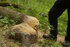 Árboles que los castores royeron Imagen de archivo libre de regalías