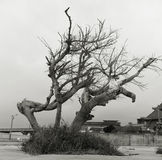 Árboles que marchitan Foto de archivo libre de regalías