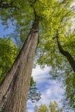 Árboles que miran para arriba en el parque Foto de archivo libre de regalías