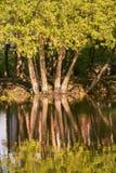 Árboles que rielan en la reflexión durante verano en Lindsay Ontario Imagenes de archivo