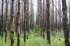 Árboles quemados Fotos de archivo