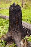 Árboles quemados Fotografía de archivo