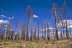 Árboles quemados, borde del norte de la barranca magnífica Imágenes de archivo libres de regalías