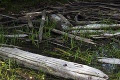 Árboles quemados, lago Coldwater, Washington Foto de archivo