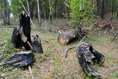 Árboles quemados y derribados en la mala gestión y la basura del bosque Imágenes de archivo libres de regalías