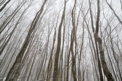 Árboles rectos finos, bosque grueso del invierno Foto de archivo