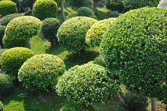 Árboles redondos del cown en jardín Imagen de archivo libre de regalías