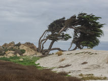 Árboles resistidos de Monterey Cypress foto de archivo