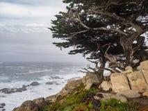 Árboles resistidos de Monterey Cypress en la costa Imágenes de archivo libres de regalías