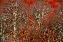 Árboles rojos Imagenes de archivo