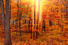 Árboles rojos brillantes del otoño Fotos de archivo