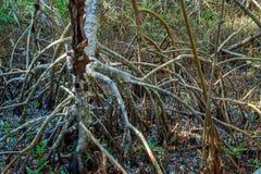 Árboles rojos del mangle Imágenes de archivo libres de regalías