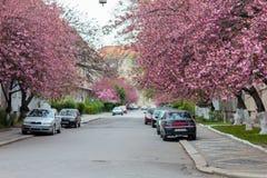 Árboles rosados florecientes de Sakura en las calles Foto de archivo libre de regalías
