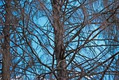 Árboles secos Fotos de archivo libres de regalías