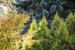 Árboles Siberia del color Fotos de archivo