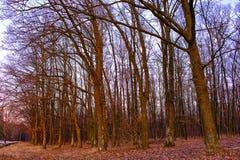 Árboles sin las hojas Imagenes de archivo