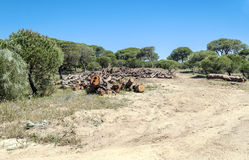 Árboles situados en las dunas Fotografía de archivo