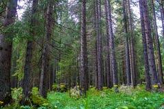 Árboles Spruce fotos de archivo