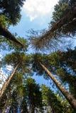 Árboles Spruce foto de archivo libre de regalías