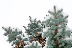 Árboles spruce azules de la rama cubiertos con los conos de la nieve Foto de archivo libre de regalías