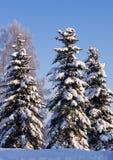 Árboles Spruce cubiertos por Snow Foto de archivo libre de regalías