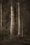 Árboles spruce grandes en bosque de la sepia Imagen de archivo libre de regalías