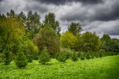 Árboles spruce jovenes Imagen de archivo