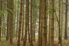 Árboles Spruce que dominan el bosque monocultural foto de archivo libre de regalías
