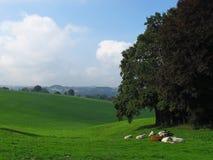 Árboles, vacas y nubes Fotografía de archivo libre de regalías