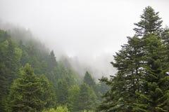Árboles verdes, bosque de niebla Fotos de archivo