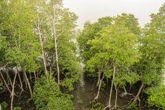 Árboles verdes claros en bosque del mangle en Tailandia Fotos de archivo libres de regalías