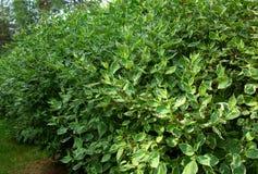 Árboles verdes cultivados de los ficus de benjamin Imágenes de archivo libres de regalías