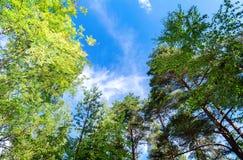 Árboles verdes en el bosque del verano contra un fondo del cielo Imagen de archivo libre de regalías