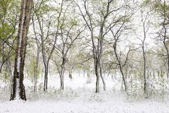 Árboles verdes en la nieve aspen Resorte en Siberia Fotos de archivo libres de regalías