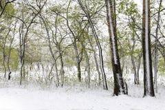 Árboles verdes en la nieve aspen Resorte en Siberia Fotografía de archivo