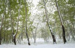 Árboles verdes en la nieve aspen Resorte en Siberia Imágenes de archivo libres de regalías