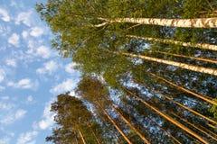 Árboles verdes en un bosque y un cielo azul con las nubes Fotografía de archivo