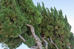 Árboles verdes que se inclinan con el cielo azul Imagen de archivo