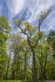 Árboles verdes y un cielo azul con las nubes Fotos de archivo libres de regalías