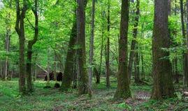 Árboles viejos del aliso y del carpe en bosque de la primavera Fotos de archivo