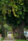 Árboles viejos del borde del camino Fotografía de archivo
