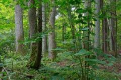 Árboles viejos del bosque de Bialowieza Fotos de archivo