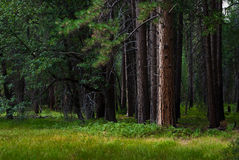 Árboles viejos en un bosque del verano imagen de archivo