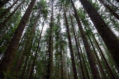 Árboles vistos de debajo en bosque olímpico del parque nacional imagen de archivo