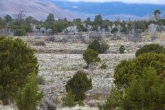 Árboles Windblown al lado de las dunas de arena Imagen de archivo