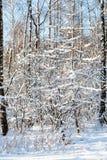 árboles y abedules nevados de alerce en día soleado Imagen de archivo libre de regalías