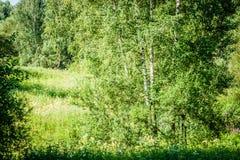 Árboles y arbustos de abedul en un bosque verde del verano Imagen de archivo