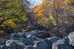Árboles y Autumn Gold torcidos Foto de archivo libre de regalías